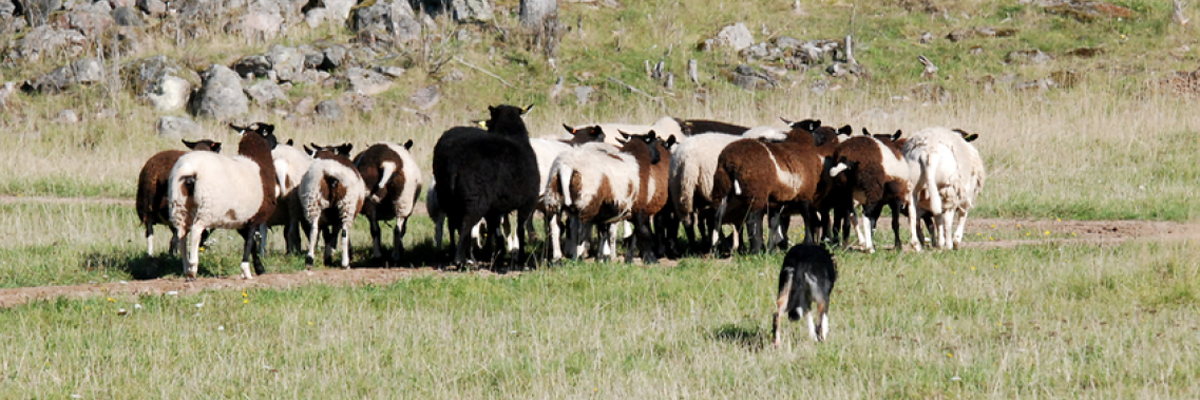 Sheepax Bernie